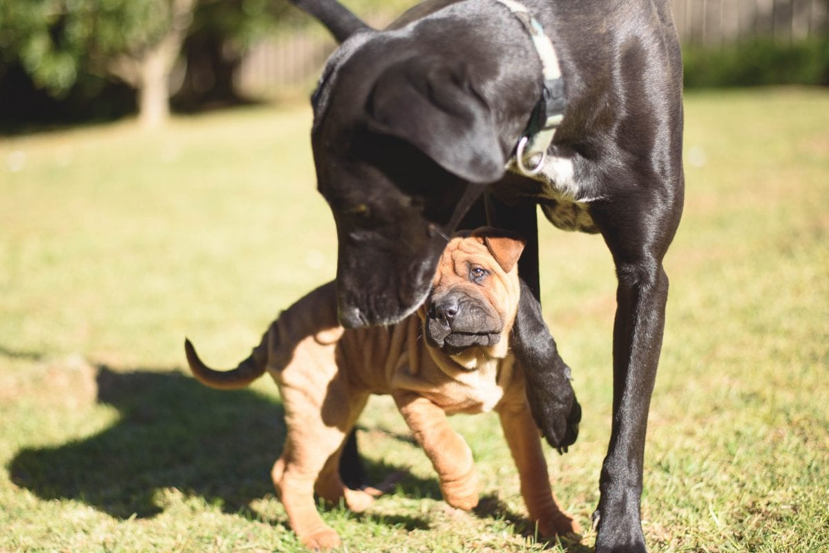 Introducing Your Puppy To Other Dogs